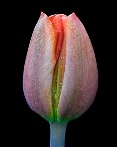 Erotic Tulip