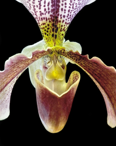 Interior of Pitcher Orchid