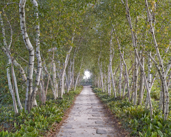 Birch Lined Path