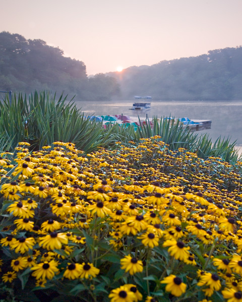 Black Eyed Susan Sunrise