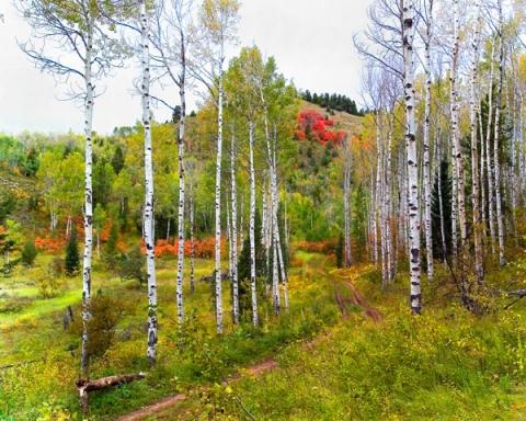 Path Through Aspen